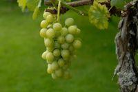 Budino all'uva