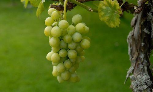 Ricetta Budino all'uva