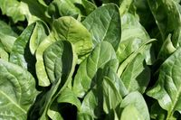 Rotolo di spinaci